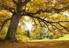 与金黄叶子的树 免版税库存照片