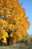 与金黄叶子的槭树在秋天本质上在蓝天背景的  库存照片