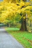 与金黄叶子的银杏biloba在秋天 免版税库存图片