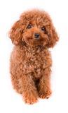 与金黄布朗毛皮的微型玩具狮子狗在白色背景 库存图片
