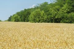 与金黄庄稼的农业领域 库存图片