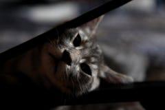 与金黄眼睛的灰色猫 库存图片