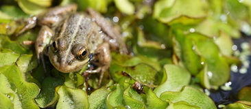 与金黄眼睛的青蛙 免版税库存图片