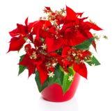 与金黄装饰的圣诞节花红色一品红 库存图片