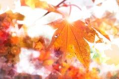 与金黄marple叶子,文本空间的抽象秋天背景 库存图片