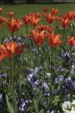 与针对性的瓣的橙色郁金香 库存照片