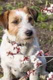 与针对性的耳朵的一条逗人喜爱的杰克罗素狗在春天坐与杏子一个宽松分支在英国森林里 图库摄影