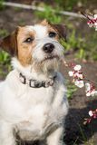 与针对性的耳朵的一条逗人喜爱的杰克罗素狗在春天坐与杏子一个宽松分支在英国森林里 库存图片