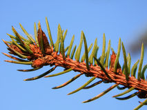 与针的杉树分支 图库摄影