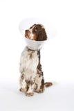 与钉头切断机衣领的英国斯伯林格西班牙猎狗 免版税库存图片