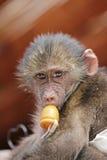 与钝汉的逗人喜爱的小猴子 库存图片