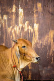 与铁锈墙壁的母牛褐色 免版税库存图片