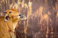 与铁锈墙壁的母牛褐色 库存照片