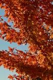 与铁锈色的槭树叶子的蓝天 免版税库存照片