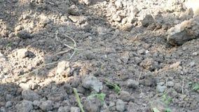 与铁锹的农夫开掘的春天土壤在庭院或领域里 股票录像