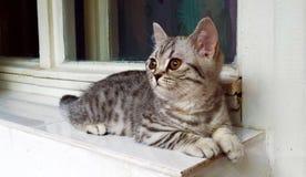 与铜眼睛的英国shorthair平纹小猫 免版税库存照片