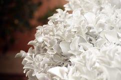 与银叶的瓜叶菊 装饰花在庭院里 背景看板卡花卉问候页夏天模板普遍性万维网 免版税库存图片