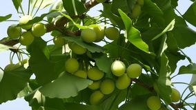 与银杏树坚果的银杏树树 股票录像