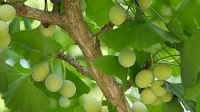 与银杏树坚果的银杏树树 股票视频