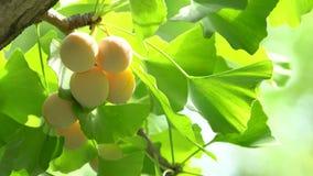 与银杏树坚果的银杏树树 影视素材