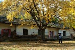 与银杏树biloba的农舍 免版税图库摄影