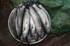 与银色标度发光的灰色圆的碗的新鲜的海鱼在一块棕色土制和绿色布料在背景中 免版税库存图片