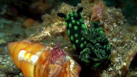 与银莲花属寄居蟹Dardanus pedunculatus的Nudibranch Nembrotha cristata在沙子在Lembeh海峡苏拉威西岛 股票视频