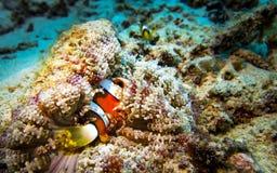 与银莲花属的小丑鱼 图库摄影