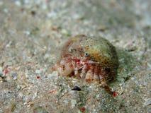 与银莲花属的罕见的寄居蟹在壳里面 免版税库存图片