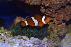 与银莲花属的Clownfish 免版税库存图片