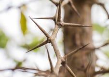 与锋利的刺的树 库存图片