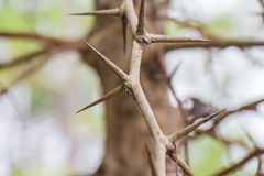 与锋利的刺的树 免版税库存照片