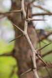 与锋利的刺的树 库存照片