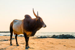 与锋利的垫铁的公牛在海滩 免版税图库摄影