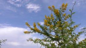 与锋利的脊椎的开花的黄色金合欢Vachellia南非洲的干燥台地高原在蓝天背景 花和别针 影视素材