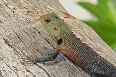 与锋利的钉的异乎寻常的五颜六色的蜥蜴坐一棵椰子树干树在马尔代夫 图库摄影