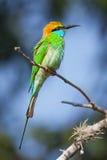 与锋利的额嘴的一只野生鸟坐分支 免版税库存图片