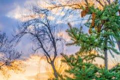 与锥体的一棵冷杉在日落的云彩前面 免版税图库摄影