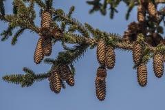 与锥体的云杉的分支 库存照片