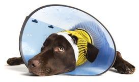 与锥体的受伤的狗 库存图片