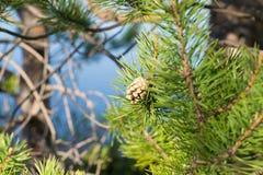 与锥体的杉木分支 库存图片