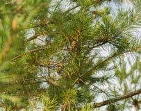 与锥体的杉木分行 免版税图库摄影