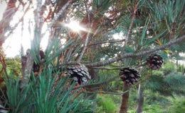 与锥体的杉木在早期的秋天 库存图片