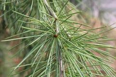 与锥体的杉木 免版税库存照片