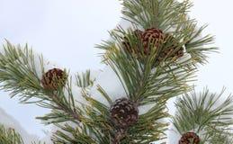 与锥体,雪的杉树分支 免版税库存图片