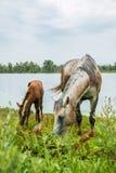 与镇静地吃草在池塘附近的一只幼小驹的一匹灰色马 免版税库存图片