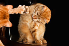 与镜子的姜红色猫 库存图片