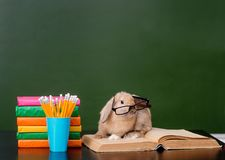 与镜片的兔子坐书临近空的绿色黑板 免版税库存图片