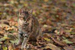 与镶边毛皮的可爱的猫在秋叶 免版税库存照片