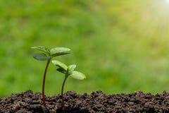 与长大从在被弄脏的绿色自然的土壤的水下落的年轻绿色新芽有软的阳光背景 免版税库存照片